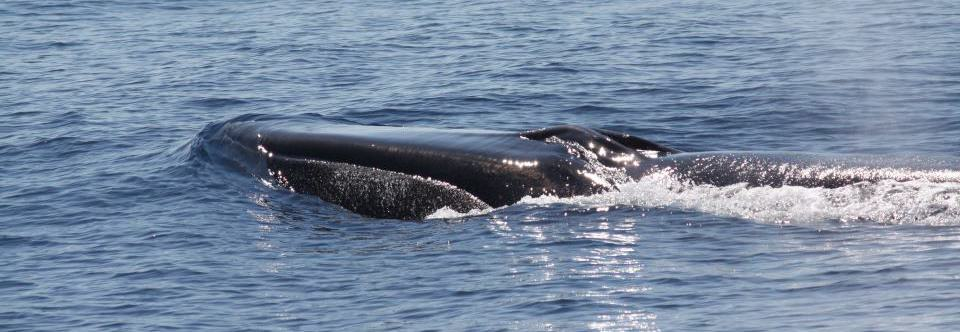 Fin whale Project